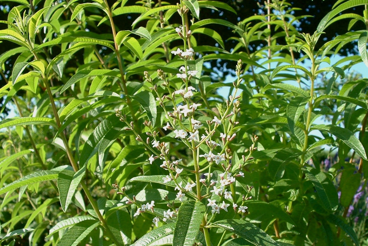 Алоизия трехлистная выращивание 91
